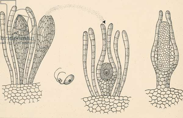 Diagram of reproductive organs of mosses
