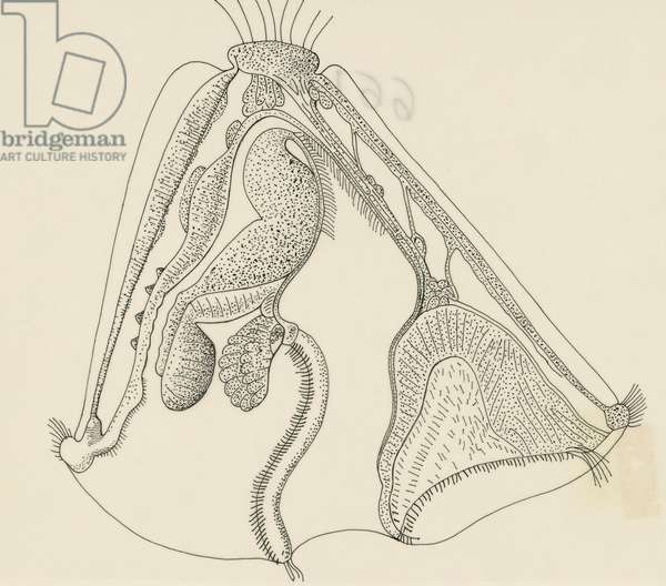 Cross-section of mature Cyphonantes, Bryozoa, drawing