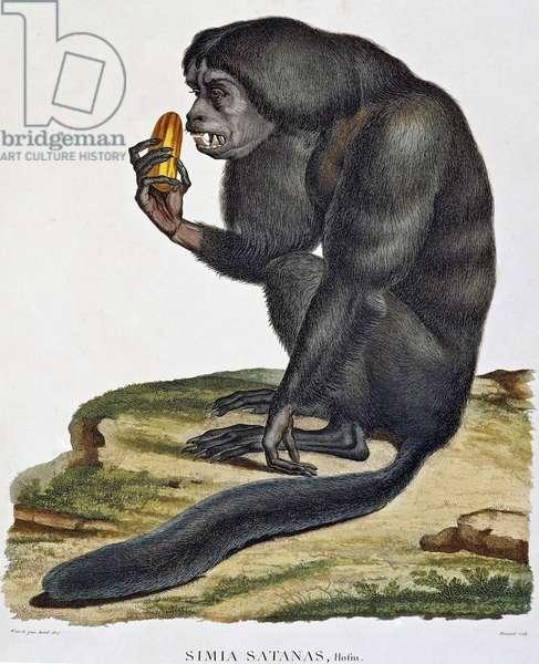 Simia satanas, monkey from Orinoco, engraving, Paris, 1811, South America, 17th -19th century