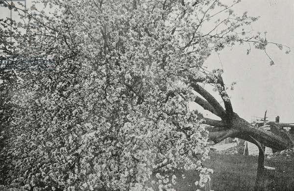 Abloom apple tree cut down by Germans before their retreat, France, Second Battle of Aisne, First World War, photograph taken from Neuflieux from magazine L'Illustration, year 75, no 3874, June 2, 1917