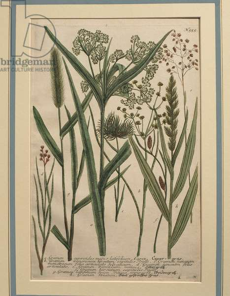 Bermuda Grass (Cynodon dactylon), coloured engraving