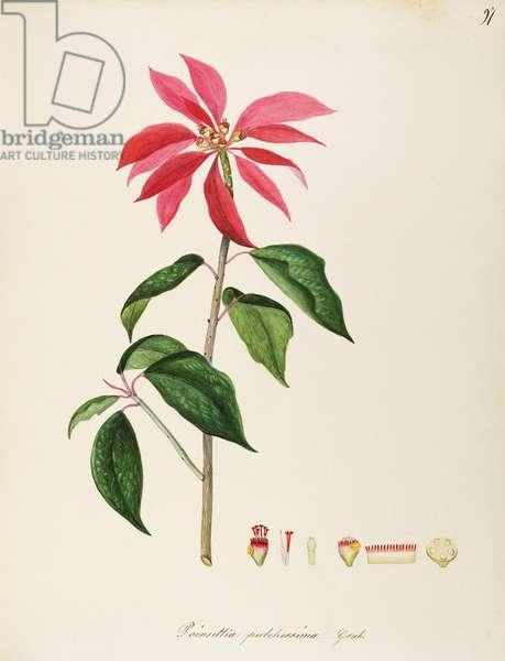 Poinsettia (Euphorbia pulcherrima), Euphorbiaceae, Indoor or temperate greenhouse suffruticose plant native to Mexico, watercolour, 1848-49.