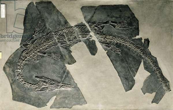Reptilia, Askeptosaurus italicus skull, Triassic (photo)