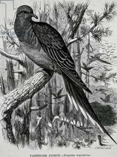 Passenger or Wild Pigeon (Ectopistes migratorius), engraving, UK, 19th century