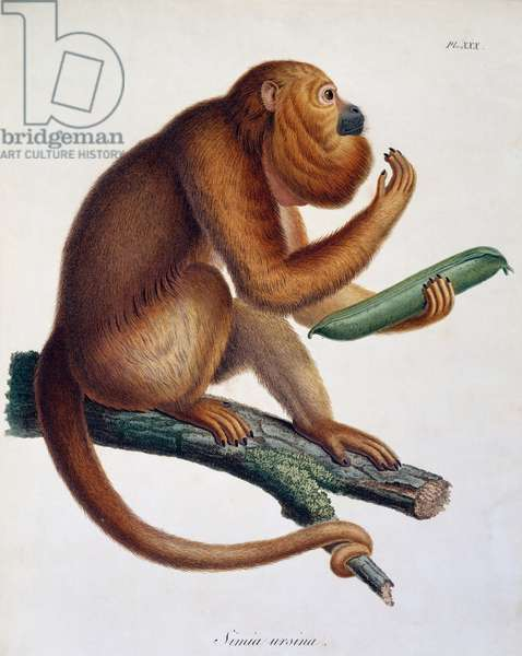 Simia ursina, monkey, engraving from Travels of Alexander von Humboldt and Aime' Bonpland in South America: Observations of zoology and comparative anatomy, Table VIII, by Alexander von Humboldt and Aime Bonpland, Paris, 1811, South America