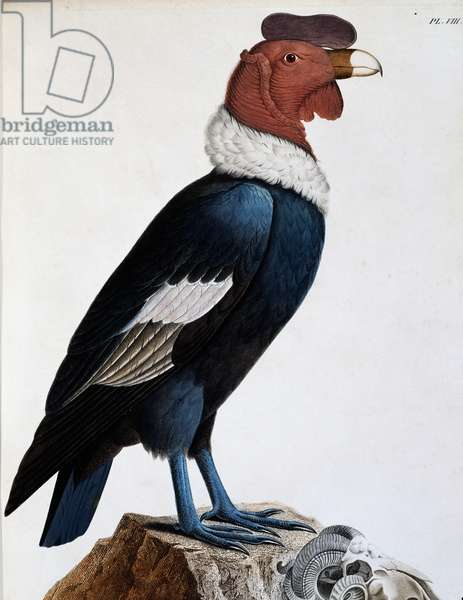 Andean condor (Vultur gryphus), engraving from Travels of Alexander von Humboldt and Aime Bonpland in South America: Observations of zoology and comparative anatomy, by Alexander von Humboldt and Aime Bonpland, Paris, 1811, South America, 17th-19th century