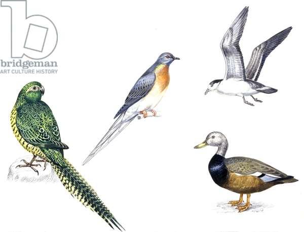 Birds: Night Parakeets: Psittaciformes: Night Parrot (Pezoporus occidentalis), passenger pigeon (Columbiformes, Ectopistes migratorius, last passenger pigeon died on 1914), Black-capped Petrel (Procellariiformes, Pterodroma hasitata), White-winged Wood Du