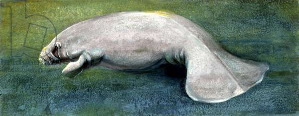 Zoology: Fishes: Mammalia, Sirenia, Manatee (Trichechus sp.), illustration