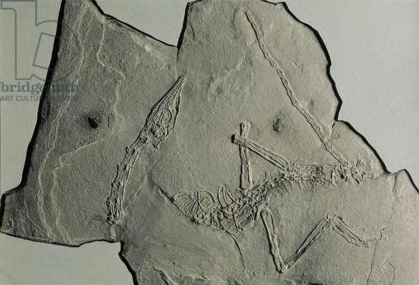 Reptilia, Fossilized Macrocnemus bassanii, Triassic (photo)