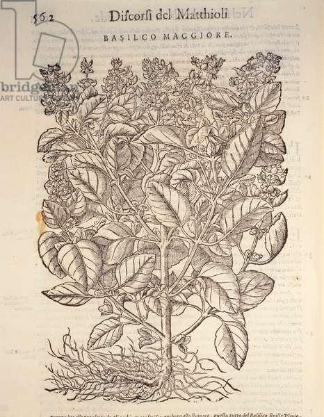 Basil (ocymum basilicum), engraving by Pier Andrea Mattioli, 1554