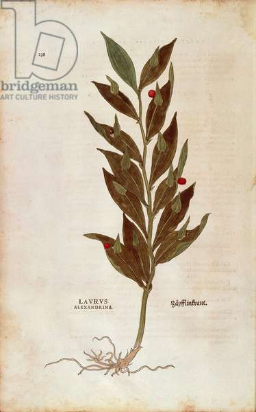 Butcher's Broom or Knee Holly - Ruscus aculeatus (Laurus alexandrina) by Leonhart Fuchs from De historia stirpium commentarii insignes (Notable Commentaries on the History of Plants) coloured engraving, 1542