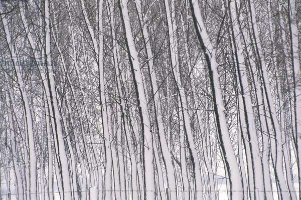Hungary - Surroundings of Kecskemet, Woods in Snow (b/w photo)