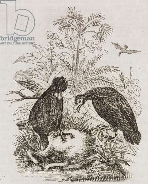 Abbuzzago hawk and black vulture (Vultur aura), engraving from L'album, giornale letterario e di belle arti, Saturday, January 9, 1836, Year 2