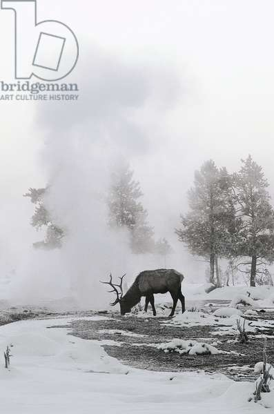 Reindeer looking for grass under the snow (photo)