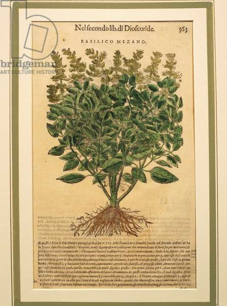 Basil (Ocimum basilicum), coloured engraving