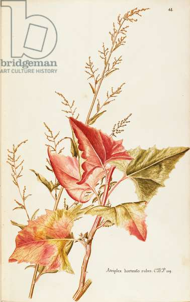 Garden Orache or Mountain Spinach (Atriplex hortensis), Amaranthaceae by Francesco Peyrolery, watercolour, 1755
