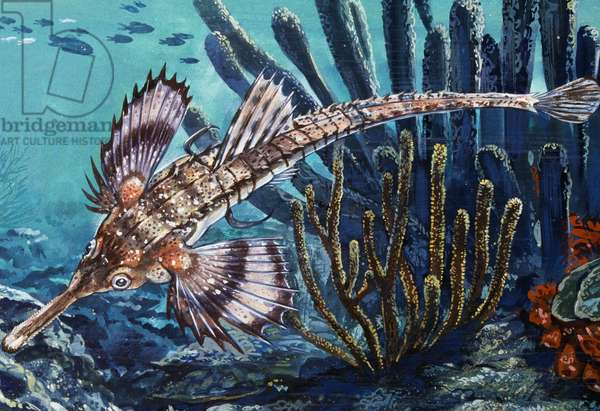 Longtail Seamoth or Long-tailed Dragonfish (Pegasus volitans), Pegasidae, Drawing