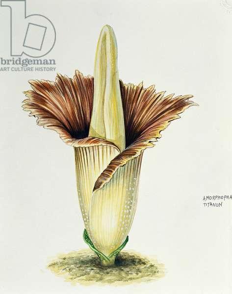 Araceae, Titan arum Amorphophallus titanum