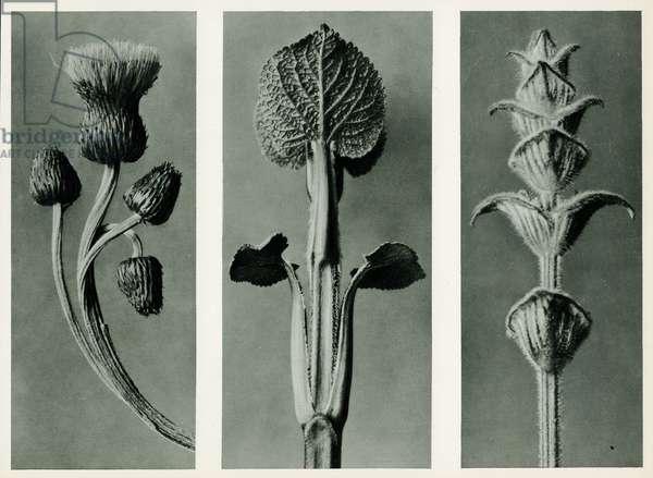 Study of three species of plant. 1929 (photogravure)