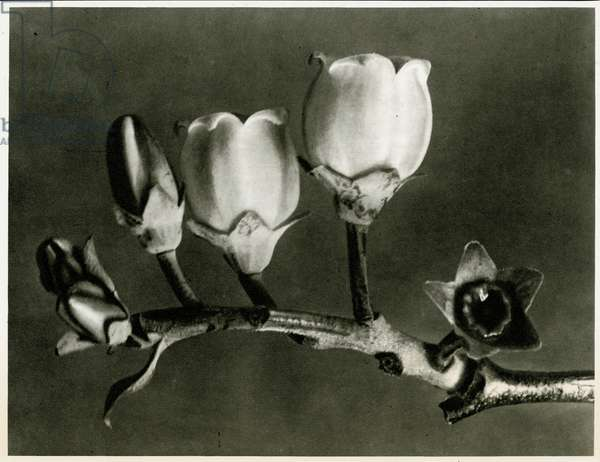 Vaccinium Corymbosum. 1929 (photogravure)