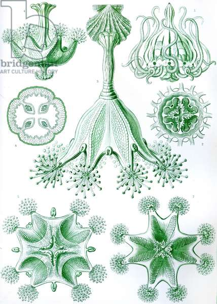 A collection of Stauromedusae from 'Kunstformen der Natur', 1899 (colour litho)