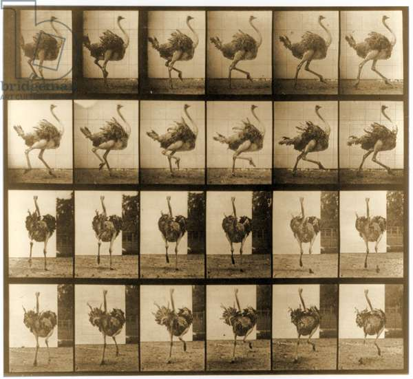 Image sequence of an Ostrich running, 'Animal Locomotion' series, c.1887 (b/w photo)