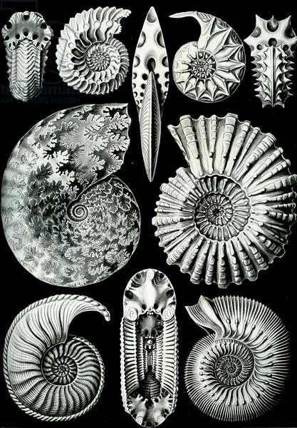 "Illustration of Ammonitida from ""Kunstformen der Natur"" 1904 (litho)"