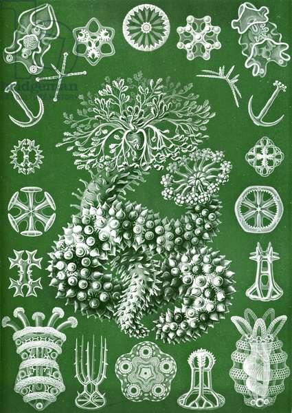 Thuroidea from 'Kunstformen der Natur', 1899 (colour litho)