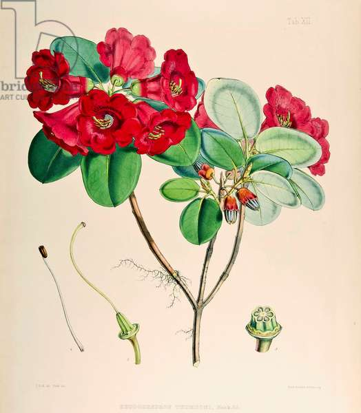 Rhododendron thomsonii, 1895 (coloured engraving)