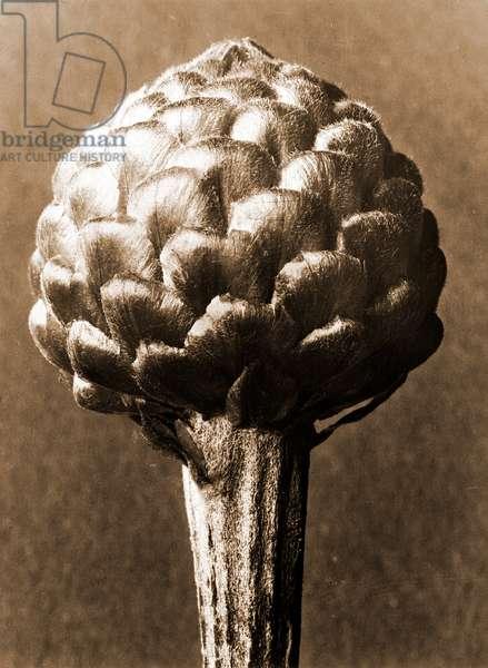 Cynara cardunculus 1929 (photogravure)