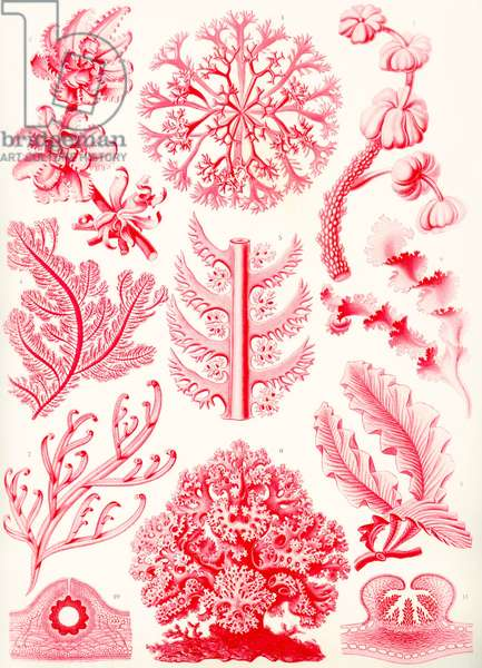 Examples of Florideae from 'Kunstformen der Natur', 1899 (colour litho)