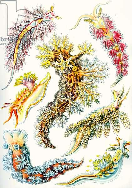 A collection of Nudibranchia from 'Kunstformen der Natur', 1899 (colour litho)