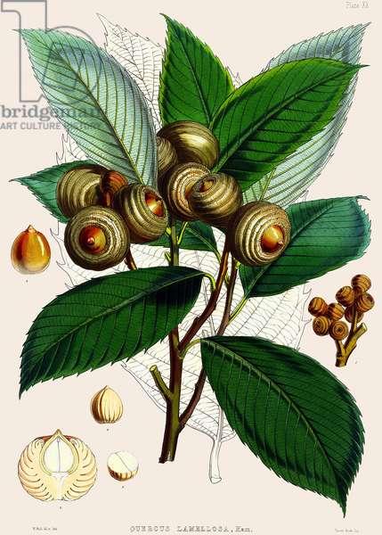 Quercus lamellosa, 1890 (coloured engraving)