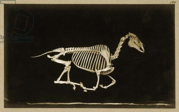 Skeleton of a running horse (b/w photo)