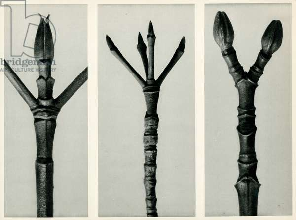 Cornus Nuttallii,1929 (photogravure)