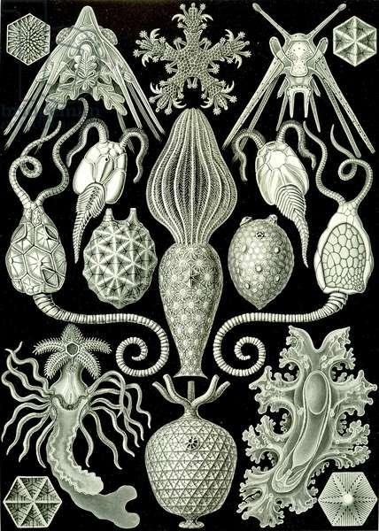 "Illustration of Amphoridea from ""Kunstformen der Natur"" 1904 (litho)"