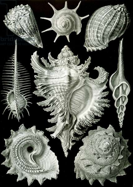 Examples of Prosranchia - shells from a variety of prosobranch gastropods, from  'Kunstformen der Natur', 1899 (colour litho)