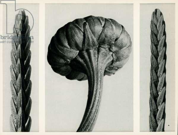 Cassiope Tetragona. 1929 (photogravure)