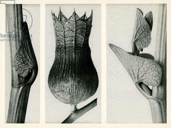 Aristolochia Clematis. 1929 (photogravure)