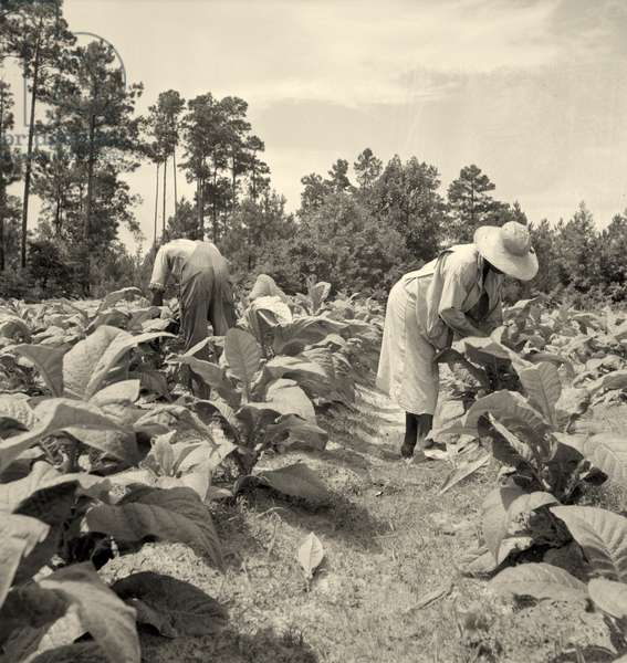Topping and suckering tobacco plants. Granville County, North Carolina   1936 (b/w photo)