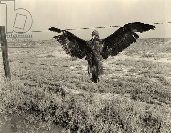 A very blue eagle. Along California highway. 1936 (b/w photo)