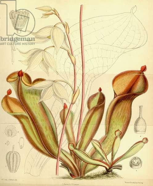 Heliamphora nutans. 1890 (coloured engraving)