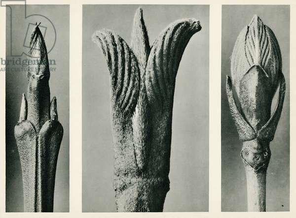 Cornus Brachypoda. 1929 (photogravure)