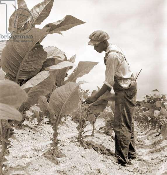 Worming tobacco. Wake County, North Carolina.  1936 (b/w photo)