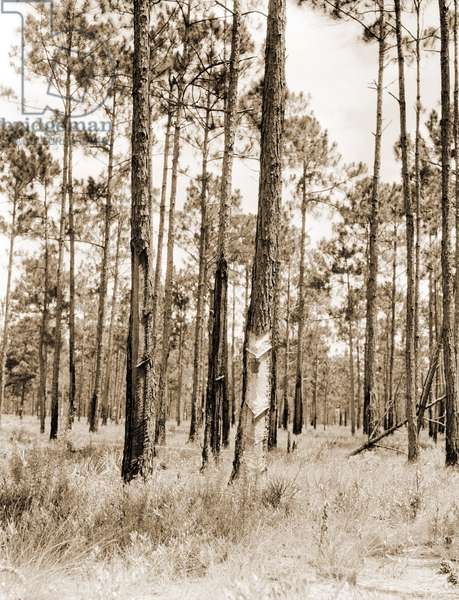 Turpentine trees in northern Florida. 1936 (b/w photo)