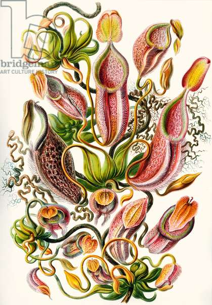 a collection of Nepenthaceae from 'Kunstformen der Natur', 1899 (colour litho)