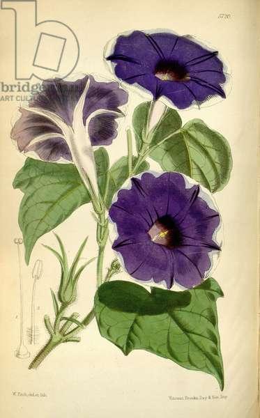 Ipomoea nil, 1868 (coloured engraving)