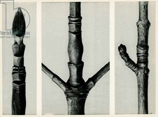 Cornus Nuttalli. 1929 (photogravure)