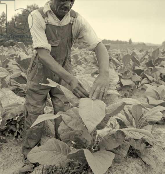 topping tobacco. Person County, North Carolina. 1936 (b/w photo)