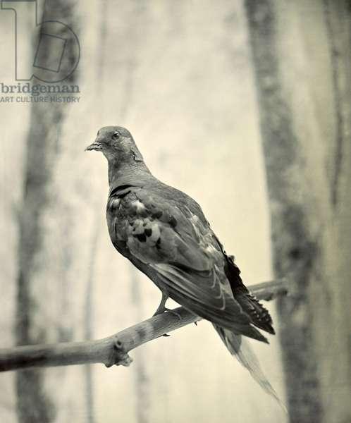 Passenger Pigeon, c.1906 (b/w photo)